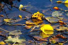 Beautiful colored leaves. In a lake i November royalty free stock photos