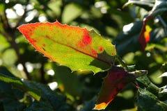 Mahonia aquifolium or Oregon grape. Beautiful colored leaves of Mahonia aquifolium Oregon grape in the autumn royalty free stock photos