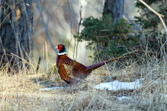 Common Pheasant (Phasianus colchicus), male. The beautiful colored male Pheasant (Phasianus colchicus) is a gallinaceous bird who prefer a farming landscapes royalty free stock photos