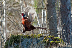 The Pheasant in action. The beautiful colored male Pheasant (Phasianus colchicus) in a typical action when he performs his mating call. The body plumage is royalty free stock images