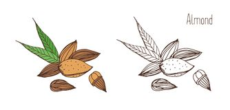 Beautiful colored and monochrome drawings of almond fruits in shell and shelled with pair of leaves. Delicious edible. Drupe or nut hand drawn in elegant Stock Photography