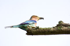 Lilacbreasted Roller. Beautiful colored starling bird with catch  - isolated Stock Images