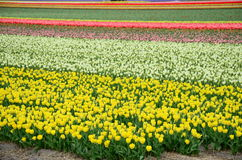Beautiful colored tulip fields in the Netherlands in springtime Stock Images