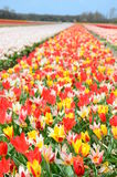 Beautiful colored tulip fields in the Netherlands in springtime Royalty Free Stock Image