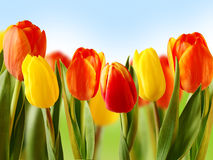 Beautiful colored tulips Stock Photos