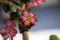 Colorful adenium in my garden in the sunshine Stock Photography