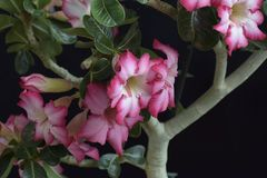 Colorful adenium in my garden in the sunshine Royalty Free Stock Images