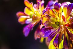 Beautiful colorful Aeonium isolated on black background in spring. stock photography