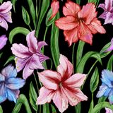 Beautiful colorful amaryllis flowers with green leaves on black background. Seamless spring pattern. Watercolor painting. Hand painted floral illustration Royalty Free Stock Photography