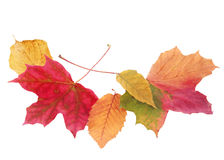Beautiful colorful autmn or fall leaves on white Royalty Free Stock Photography