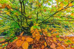 Beautiful colorful autumn tree in a forest Royalty Free Stock Photo