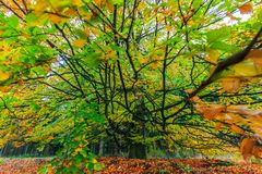 Beautiful colorful autumn tree in a forest Royalty Free Stock Photography