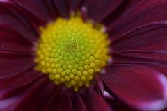 Beautiful colorful autumn flower close up stock photos