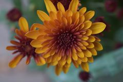 Beautiful colorful autumn flower close up stock image