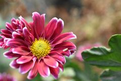 Beautiful colorful autumn flower in the sunshine stock images