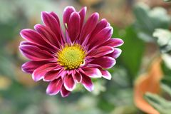 Beautiful colorful autumn flower in the sunshine royalty free stock images