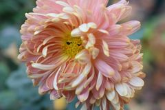 Beautiful colorful autumn flower in the sunshine stock photography