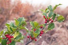 Beautiful colorful autumn holly bush tree Stock Image