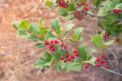 Beautiful colorful autumn holly bush tree Royalty Free Stock Images