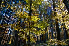 Beautiful colorful autumn image, sunlights breaking through the beech wood leaves. At deciduous forest stock photos