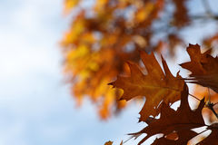 Beautiful colorful autumn leaves. Beautiful colorful fall foliage in autumn Royalty Free Stock Photography