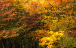Beautiful Colorful Autumn Leaves for background Royalty Free Stock Photography