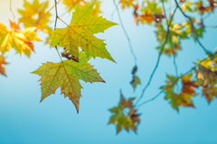 Beautiful Colorful Autumn Leaves Royalty Free Stock Image