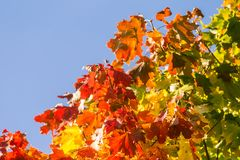 Beautiful, colorful autumn leaves of maple tree in park. Vivid color of a fall trees. Stock Photography
