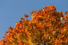 Beautiful, colorful autumn leaves of maple tree in park. Vivid color of a fall trees. Stock Image