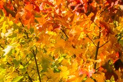 Beautiful, colorful autumn leaves of maple tree in park. Vivid color of a fall trees. Stock Photo