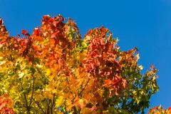 Beautiful, colorful autumn leaves of maple tree in park. Vivid color of a fall trees. Royalty Free Stock Image
