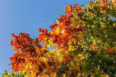 Beautiful, colorful autumn leaves of maple tree in park. Vivid color of a fall trees. Royalty Free Stock Photography