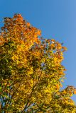 Beautiful, colorful autumn leaves of maple tree in park. Vivid color of a fall trees. Stock Photos
