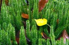 Beautiful Colorful Autumn. Stiff clubmoss (Lycopodium annotinum) in summer Stock Images