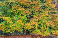 Beautiful colorful autumn tree in a forest Stock Photos