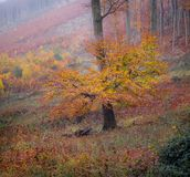 Beautiful and colorful autumn tree standing on the edge of the forest. royalty free stock photos