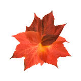 Beautiful colorful autumnal leaf of wild grape Royalty Free Stock Image