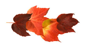 Beautiful colorful autumnal leaf of wild grape Stock Photo