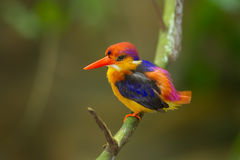 Beautiful colorful Backside of Black-backed Kingfisher Royalty Free Stock Images