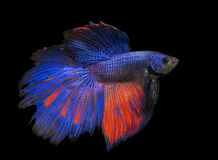 Beautiful and Colorful Betta fish. Beautiful and Colorful Betta fish, siamese fighting fish, betta splendens isolated on black background Royalty Free Stock Photography