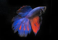 Beautiful and Colorful Betta fish. Beautiful and Colorful Betta fish, siamese fighting fish, betta splendens isolated on black background Stock Photos