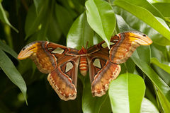 beautiful colorful big butterfly with brown wing royalty free stock photography