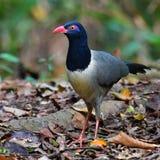 Coral-billed Ground Cuckoo Bird