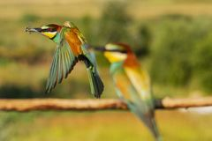 Beautiful colorful bird flies by with a dragonfly in its beak stock photography
