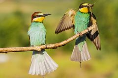 Beautiful colorful birds with insects in their beak royalty free stock photo
