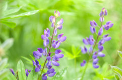 Beautiful colorful blooming lupine flowers on green blurred background. Spring and summer flowers Royalty Free Stock Photography