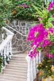 Beautiful and colorful bougainvillea flowers. Branch magenta bougainvillea flowers on background of stone white staircase with stock image
