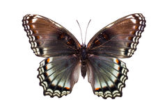 Beautiful colorful butterfly with brown and light blue wings Stock Photos