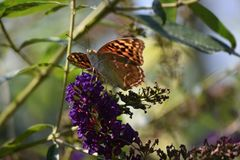 Beautiful colorful butterfly close up in my garden Stock Photography