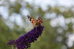 Beautiful colorful butterfly close up in my garden Royalty Free Stock Photography